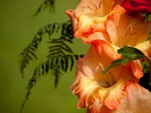 Orange gladiolus