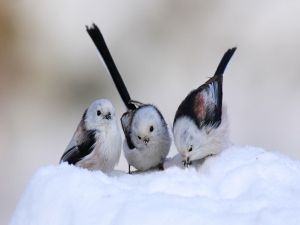 Three birdies eating snow