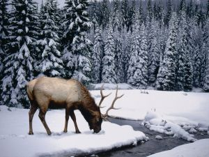 Reindeer in the snow