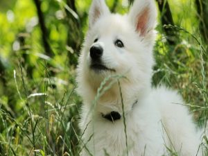 White dog puppy