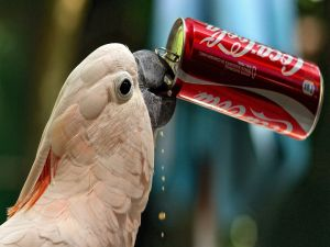 A parrot drinking Coca-Cola
