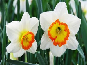 Two white daffodils