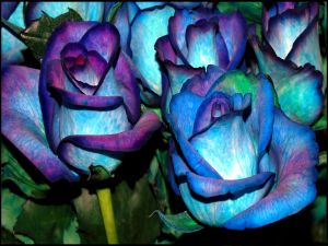 Roses tinted of blue