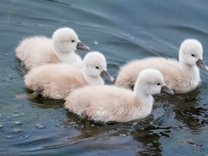 Swan chicks swimming in the water