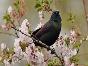 Blackbird on a branch with flowers