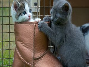 Kittens playing with a boot