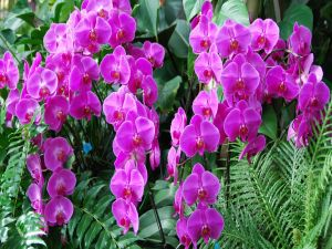 Lilac colored orchids