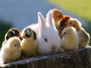 Chicks and a rabbit
