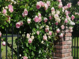 Roses on a fence