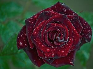 A rose with dew drops