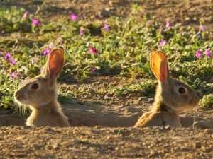 Hares in its burrow