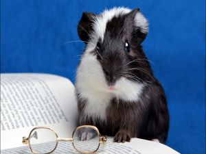 Guinea pig ready to read