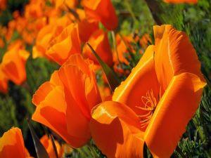 Orange petals of a poppy