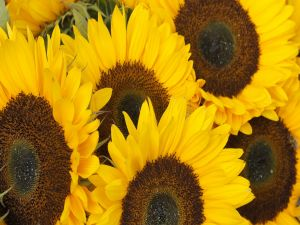 Sunflowers very close together