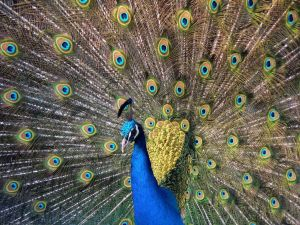 Peacock showing its beautiful plumage