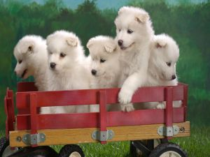 White puppies in a little trailer