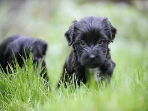 Black puppies in the grass