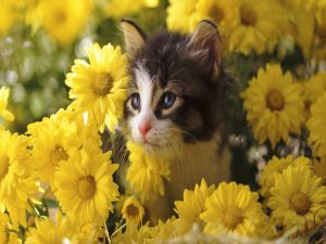 Kitten among yellow daisies