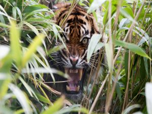 Tiger among grass showing its jaws