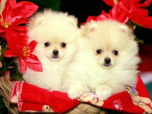 Pomeranian puppies in a basket