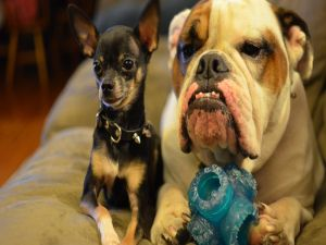 Chihuahua and bulldog, two good friends