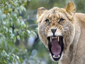 An angry lioness