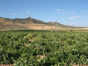Vineyards in Ciudad Real (Spain)