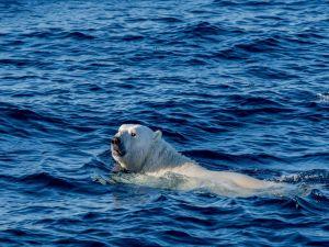 Polar bear swimming in the sea