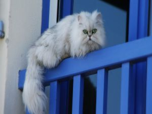 White cat on the balcony