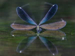 Dragonfly at water level