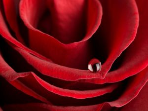 A drop on a red rose petal
