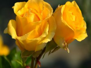 Two yellow roses with dew