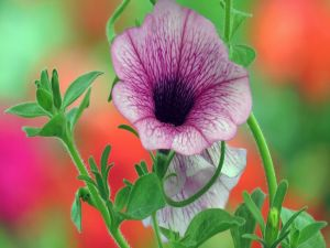 Petunia lilac color