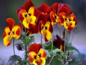 Pansies tricolor