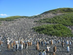 Penguin colony in South Georgia Islands