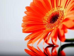 Orange gerbera reflection
