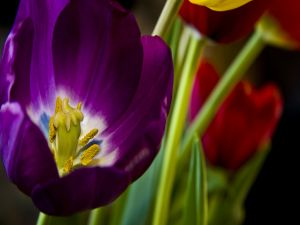 Interior of a purple tulip