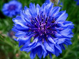 Beautiful blue flower close up view