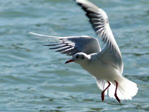 Gull (Larus ridibundus)
