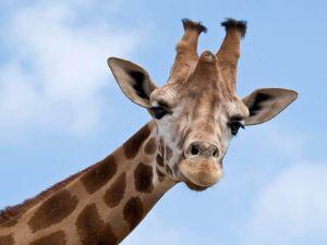 A sympathetic giraffe