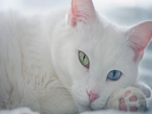 White kitten with different colored eyes