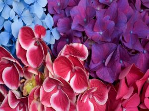 Colored hydrangeas