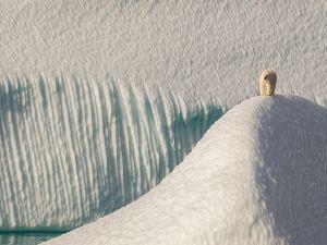 Polar bear walking over ice sheets