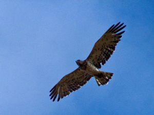 Toed eagle in flight
