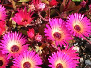 Livingstone daisies (Dorotheanthus bellidiformis)
