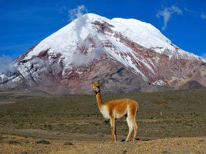 Vicuña on the slopes of the volcano Chimborazo (Ecuador)