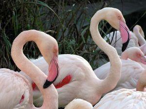 Flamingos (Phoenicopterus roseus) at Bristol Zoo, England