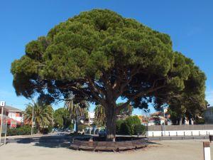 A centennial pine
