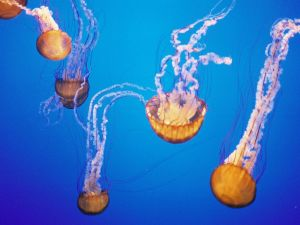 A spectaculars jellyfishes