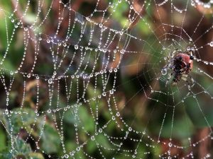 Shamrock orbweaver (Araneus trifolium) on its web full of dew drops